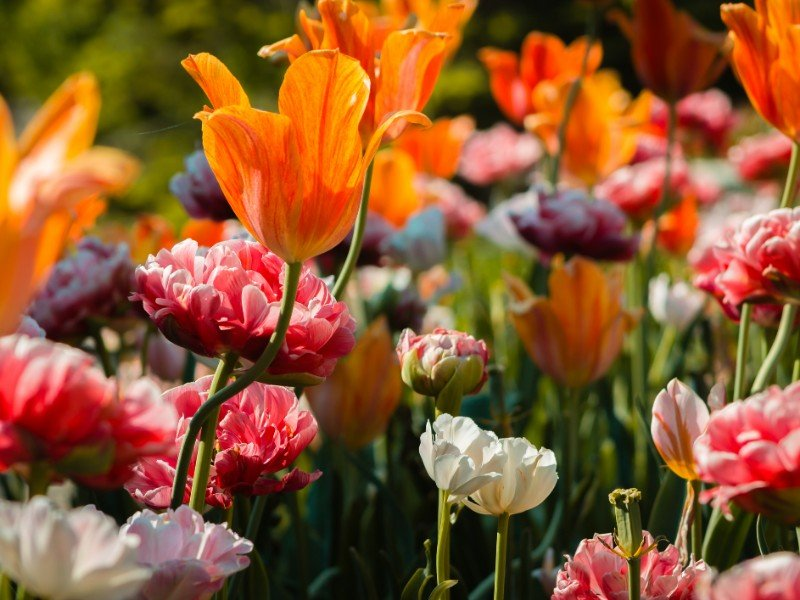 Beautiful flowerbed full of blooming tulips and peonies at the Frederik Meijer Gardens