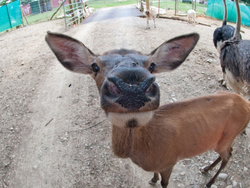 close up of a baby elk at Tennessee Safari Park