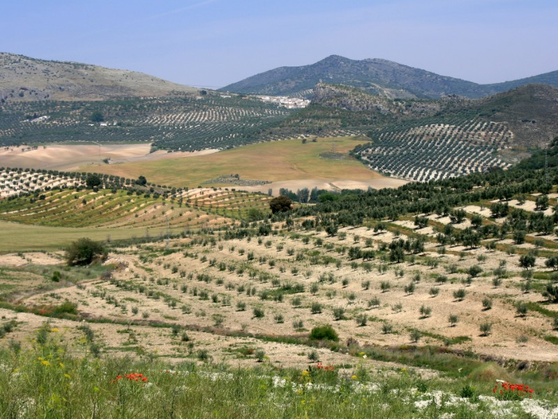 Olive trees landscape in Andalusia
