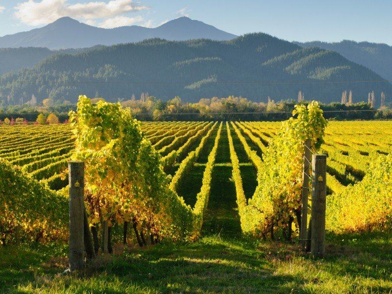 Vineyard in the Wairua valley, South Island of New Zealand