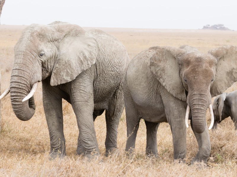 Elephants at Serengeti National Park, Tanzania