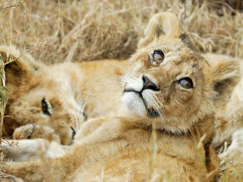 Lion cubs, Serengeti National Park, Africa