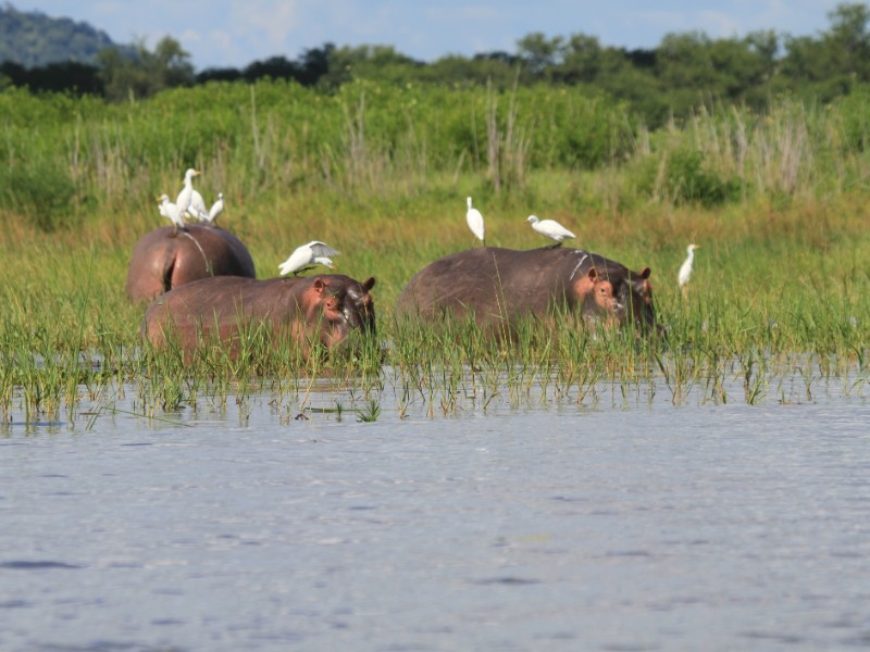 Egrets and hippos in Liwonde National Park, Malawi, Africa