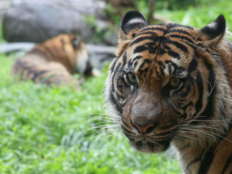 Nashville tigers