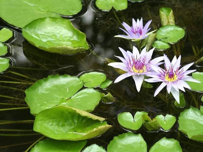 Waterlilies at McKee Botanical Garden