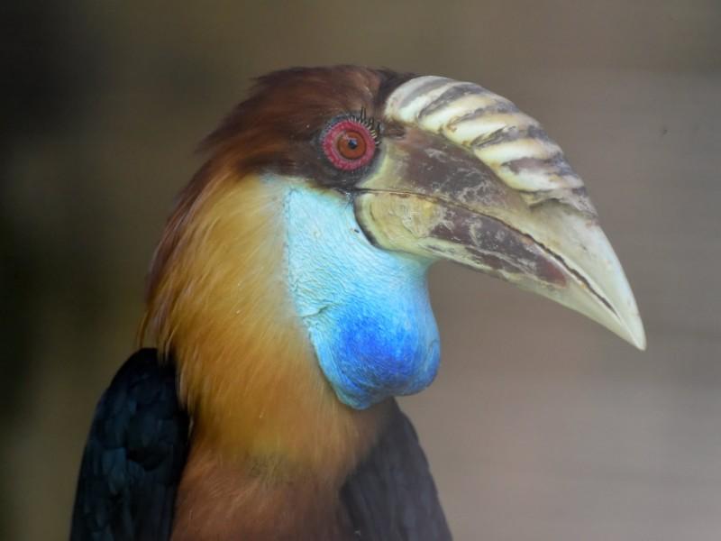 Sumba Hornbill, Sumba Island, Indonesia
