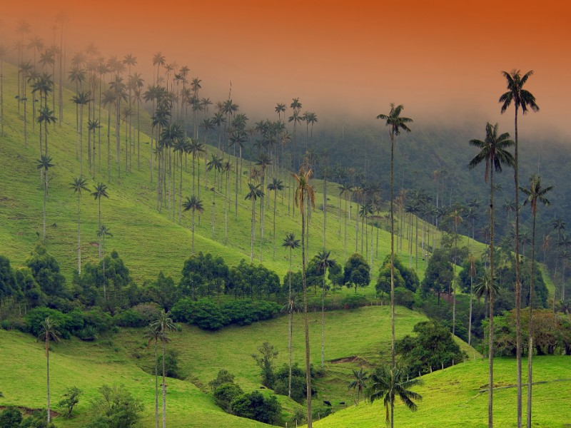 The Wax Palm Trees in Cocora Valley, Colombia