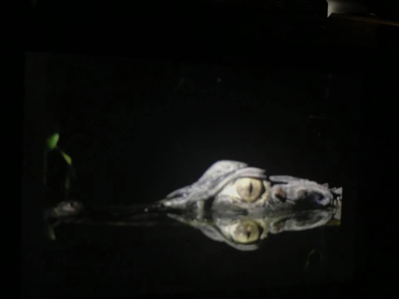 Caiman at night in the Ecuadoran Amazon