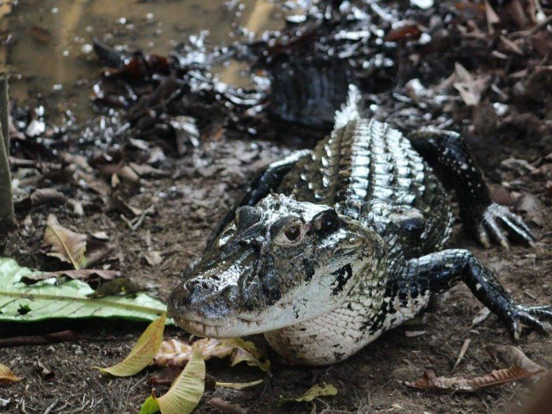 Lucy the caiman