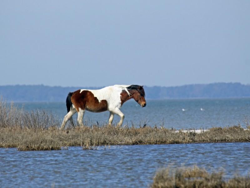 Bay Pinto Horse near the Bay on Assateague Island