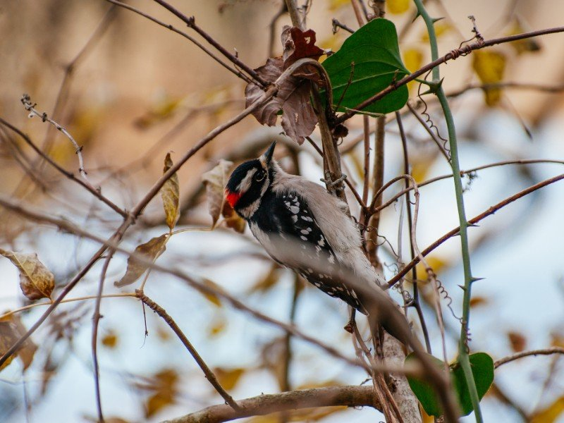 Woodpecker at Radnor Lake State Park
