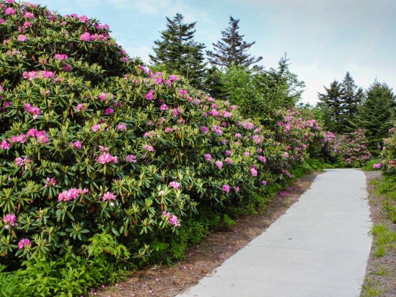 Walkway through the wild native catawba rhododendron at Roan Mountain State Park