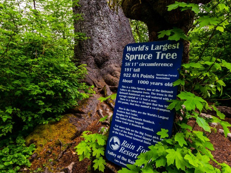 World`s largest spruce tree, Quinault Rainforest, Olympic National Park