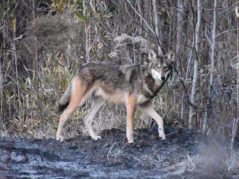 Red Wolf at Alligator River National Wildlife Refuge