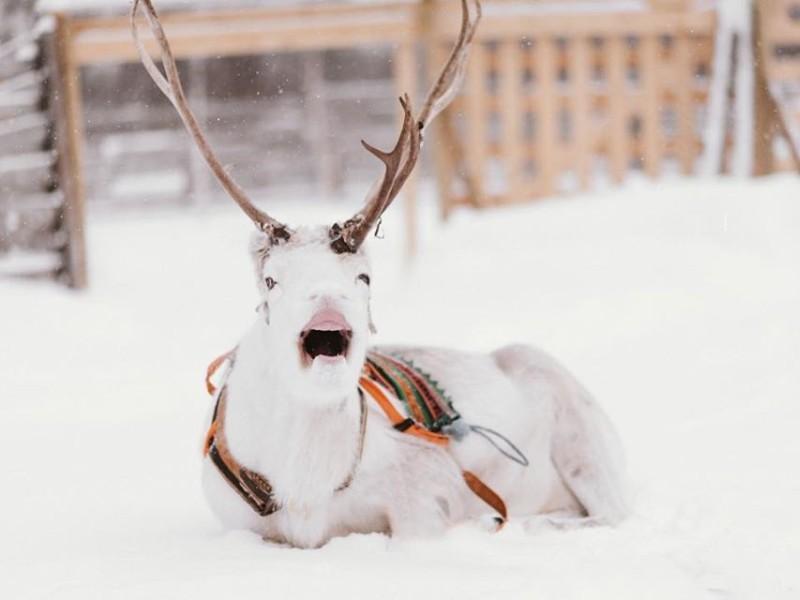 Sirmakko Reindeer Farm