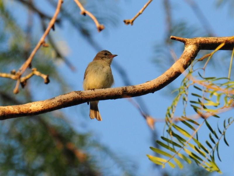 Sparrow in Bentsen-Rio Grande Valley State Park