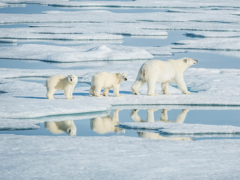 Polar bears and icebergs in the Canadian Arctic, Manitoba