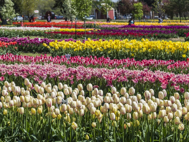 Tulips garden at Veldheer Tulip Gardens in Holland, Michigan during Tulip festival