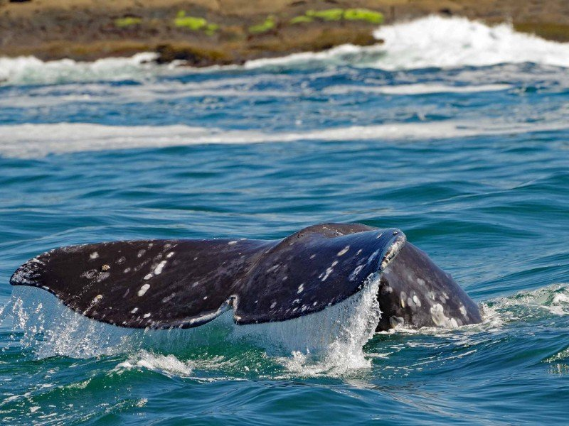 A Gray whale tail fluke breaks water on a whale-watching tour off the Oregon coast
